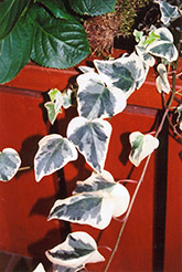 Variegated English Ivy (Hedera helix 'Variegata') at All Seasons Nursery