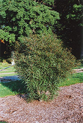 Cutleaf Glossy Buckthorn (Rhamnus frangula 'Asplenifolia') at All Seasons Nursery