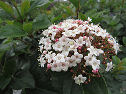 Shades Of Pink Viburnum (Viburnum tinus 'Lisarose') at All Seasons Nursery