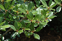 Japanese Cleyera (Cleyera japonica) at All Seasons Nursery