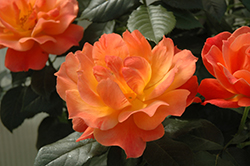 Livin' Easy™ Rose (tree form) (Rosa 'HARwelcome (tree form)') at All Seasons Nursery