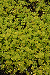 Golden Creeping Jenny (Lysimachia nummularia 'Aurea') at All Seasons Nursery