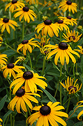 Goldsturm Coneflower (Rudbeckia fulgida 'Goldsturm') at All Seasons Nursery