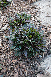 Chocolate Chip Bugleweed (Ajuga reptans 'Chocolate Chip') at All Seasons Nursery