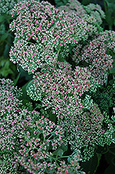 Autumn Joy Stonecrop (Sedum 'Autumn Joy') at All Seasons Nursery