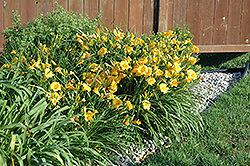 Stella de Oro Daylily (Hemerocallis 'Stella de Oro') at All Seasons Nursery