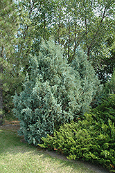 Wichita Blue Juniper (Juniperus scopulorum 'Wichita Blue') at All Seasons Nursery