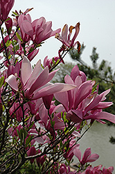 Ann Magnolia (Magnolia 'Ann') at All Seasons Nursery