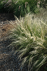 Pony Tails Mexican Feather Grass (Stipa tenuissima 'Pony Tails') at All Seasons Nursery