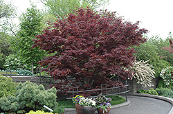 Bloodgood Japanese Maple (Acer palmatum 'Bloodgood') at All Seasons Nursery
