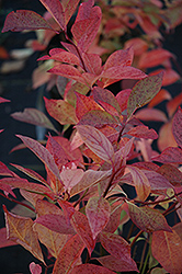 Little Henry® Virginia Sweetspire (Itea virginica 'Sprich') at All Seasons Nursery