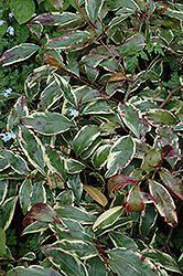 Romeo Cleyera (Cleyera japonica 'Variegata') at All Seasons Nursery