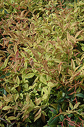 Gulf Stream Dwarf Nandina (Nandina domestica 'Gulf Stream') at All Seasons Nursery