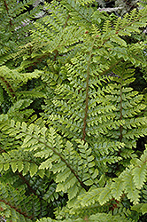 Japanese Tassel Fern (Polystichum polyblepharum) at All Seasons Nursery