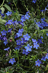 Grace Ward Lithodora (Lithodora 'Grace Ward') at All Seasons Nursery