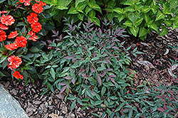 Flirt™ Nandina (Nandina domestica 'Murasaki') at All Seasons Nursery