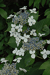 White Lacecap Hydrangea (Hydrangea macrophylla 'Lanarth White') at All Seasons Nursery