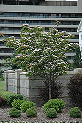 Flowering Dogwood (Cornus florida) at All Seasons Nursery