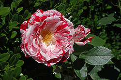 Scentimental Rose (Rosa 'Scentimental') at All Seasons Nursery