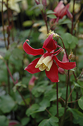 Swan Red and White Columbine (Aquilegia caerulea 'Swan Red and White') at All Seasons Nursery