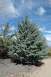 Arizona Cypress (Cupressus arizonica) at All Seasons Nursery