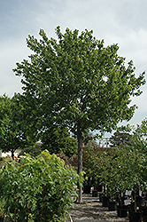 Summer Red Red Maple (Acer rubrum 'Summer Red') at All Seasons Nursery