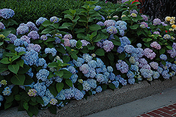 Nikko Blue Hydrangea (Hydrangea macrophylla 'Nikko Blue') at All Seasons Nursery