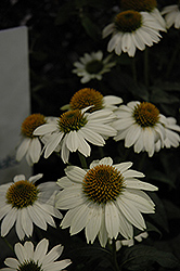 PowWow White Coneflower (Echinacea purpurea 'PowWow White') at All Seasons Nursery