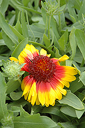 Mesa Bright Bicolor Blanket Flower (Gaillardia x grandiflora 'Mesa Bright Bicolor') at All Seasons Nursery