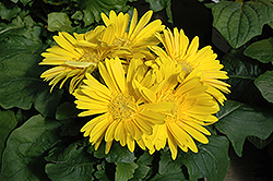 Yellow Gerbera Daisy (Gerbera 'Yellow') at All Seasons Nursery