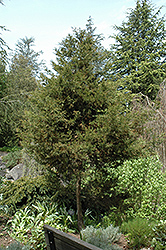 Italian Cypress (Cupressus sempervirens) at All Seasons Nursery