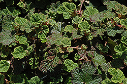 Emerald Carpet Raspberry (Rubus calycinoides 'Emerald Carpet') at All Seasons Nursery