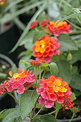 Lucky™ Sunrise Rose Lantana (Lantana camara 'Lucky Sunrise Rose') at All Seasons Nursery