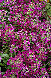 Wonderland Purple Alyssum (Lobularia maritima 'Wonderland Purple') at All Seasons Nursery