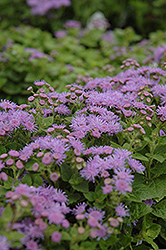 Artist Blue Flossflower (Ageratum 'Artist Blue') at All Seasons Nursery