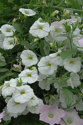 Superbells® White Calibrachoa (Calibrachoa 'Superbells White') at All Seasons Nursery