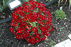 Floral Lace Crimson Pinks (Dianthus 'Floral Lace Crimson') at All Seasons Nursery