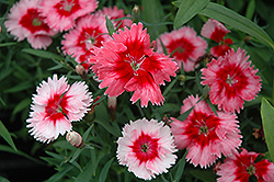 Super Parfait™ Strawberry Pinks (Dianthus 'Super Parfait Strawberry') at All Seasons Nursery