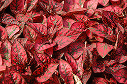 Splash Select Red Polka Dot Plant (Hypoestes phyllostachya 'Splash Select Red') at All Seasons Nursery