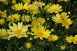 Butterfly Marguerite Daisy (Argyranthemum frutescens 'Butterfly') at All Seasons Nursery