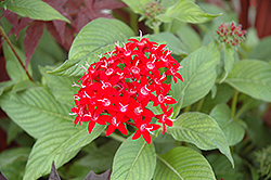 Graffiti® Red Lace Star Flower (Pentas lanceolata 'Graffiti Red Lace') at All Seasons Nursery