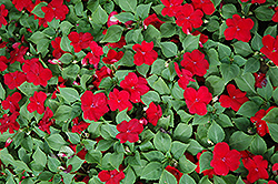 Dazzler Cranberry Impatiens (Impatiens 'Dazzler Cranberry') at All Seasons Nursery