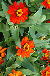 Profusion Fire Zinnia (Zinnia 'Profusion Fire') at All Seasons Nursery