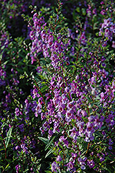 Serena Purple Angelonia (Angelonia angustifolia 'Serena Purple') at All Seasons Nursery
