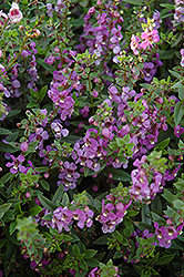 Serena Blue Angelonia (Angelonia angustifolia 'Serena Blue') at All Seasons Nursery