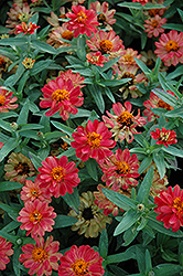 Profusion Double Deep Salmon Zinnia (Zinnia 'Profusion Double Deep Salmon') at All Seasons Nursery