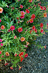 Superbells® Tequila Sunrise Calibrachoa (Calibrachoa 'Superbells Tequila Sunrise') at All Seasons Nursery