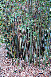 Graceful Bamboo (Bambusa textilis 'Gracilis') at All Seasons Nursery