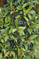Brush Cherry (Eugenia myrtifolia) at All Seasons Nursery