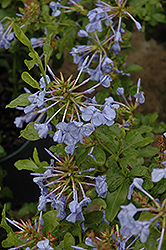 Imperial Blue Plumbago (Plumbago auriculata 'Imperial Blue') at All Seasons Nursery